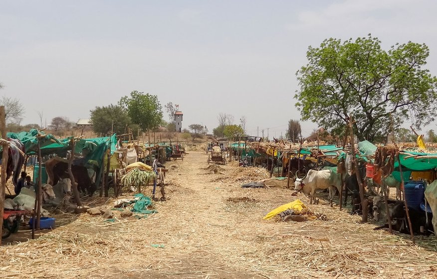 A view of the cattle camp in Vadgaon Dhok village, one of the 925 such camps that have been opened up in Beed as a drought relief initiative funded by the Maharashtra government.