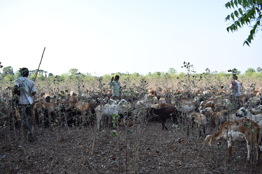 Left: The flock being herded away after a farm family wouldn't allow them to graze in their fields. Right: A harvested cotton field, with barely any fodder. The travel restrictions under the lockdown are making the herders' search for fodder even more difficult