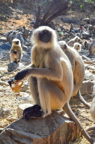 Langurs eating rotis distributed by Jhujaram Dharmiji Sant