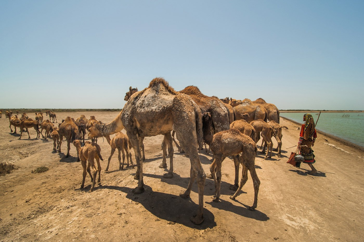 a woman walking with her herd of Kharai camels in search of water.