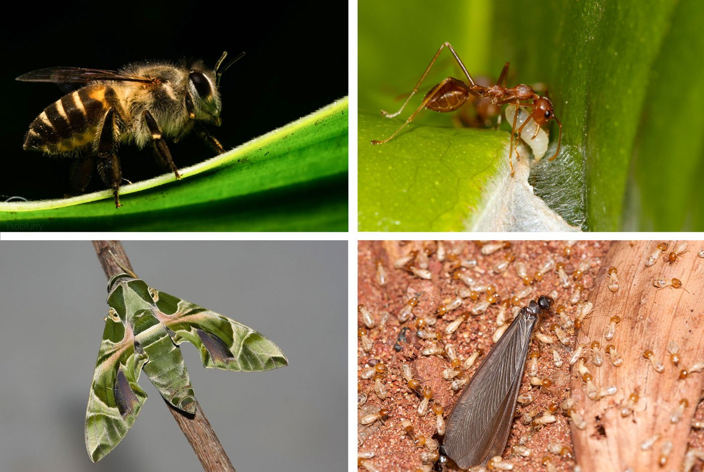 Top left: The apis cerana indica or the 'bee', resting on the oleander plant. Top right: Oecophylla smaragdina, the weaver ant, making a nest using silk produced by its young one. Bottom left: Daphnis nerii, the hawk moth, emerges at night and helps in pollination. Bottom right: Just before the rains, the winged form female termite emerges and leaves the the colony to form a new colony. The small ones are the infertile soldiers who break down organic matter like dead trees. These termites are also food for some human communities who eat it for the high protein content