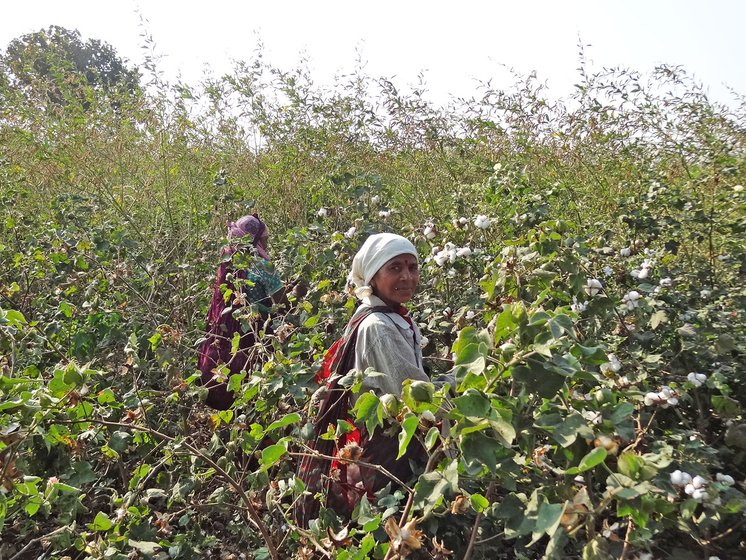 Women working in cotton farm