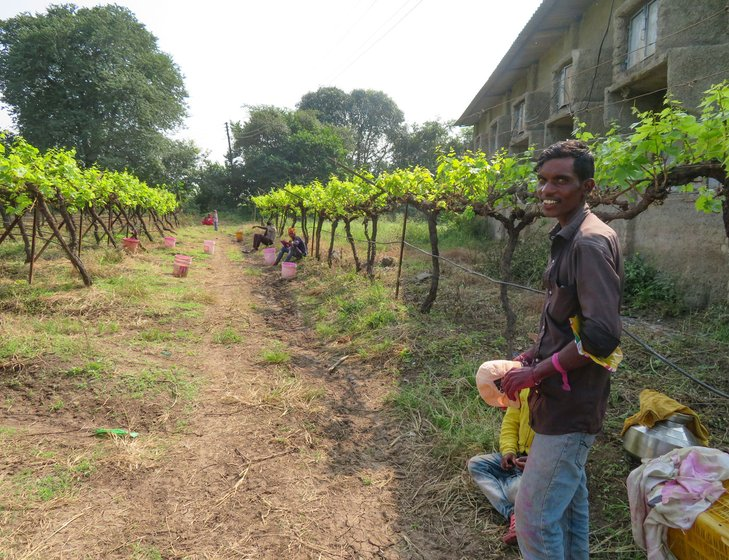 On Sarala Boraste's farm, labourers taking a break from spraying pesticides on infected grape plants.