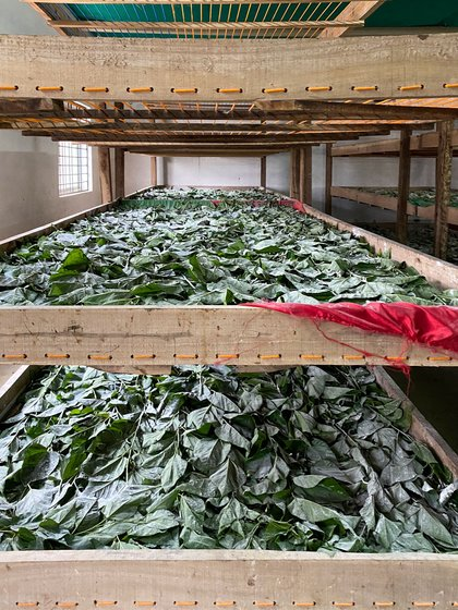 The mulberry leaves (left) fed to silkworms in cocoon farmer Ramakrishna Boregowda's rearing unit in Ankushanahalli village. With severe losses this year, he has started removing the mulberry crop from his land and plans to stop producing cocoons