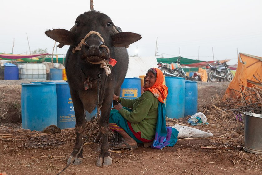 A woman milks a cow