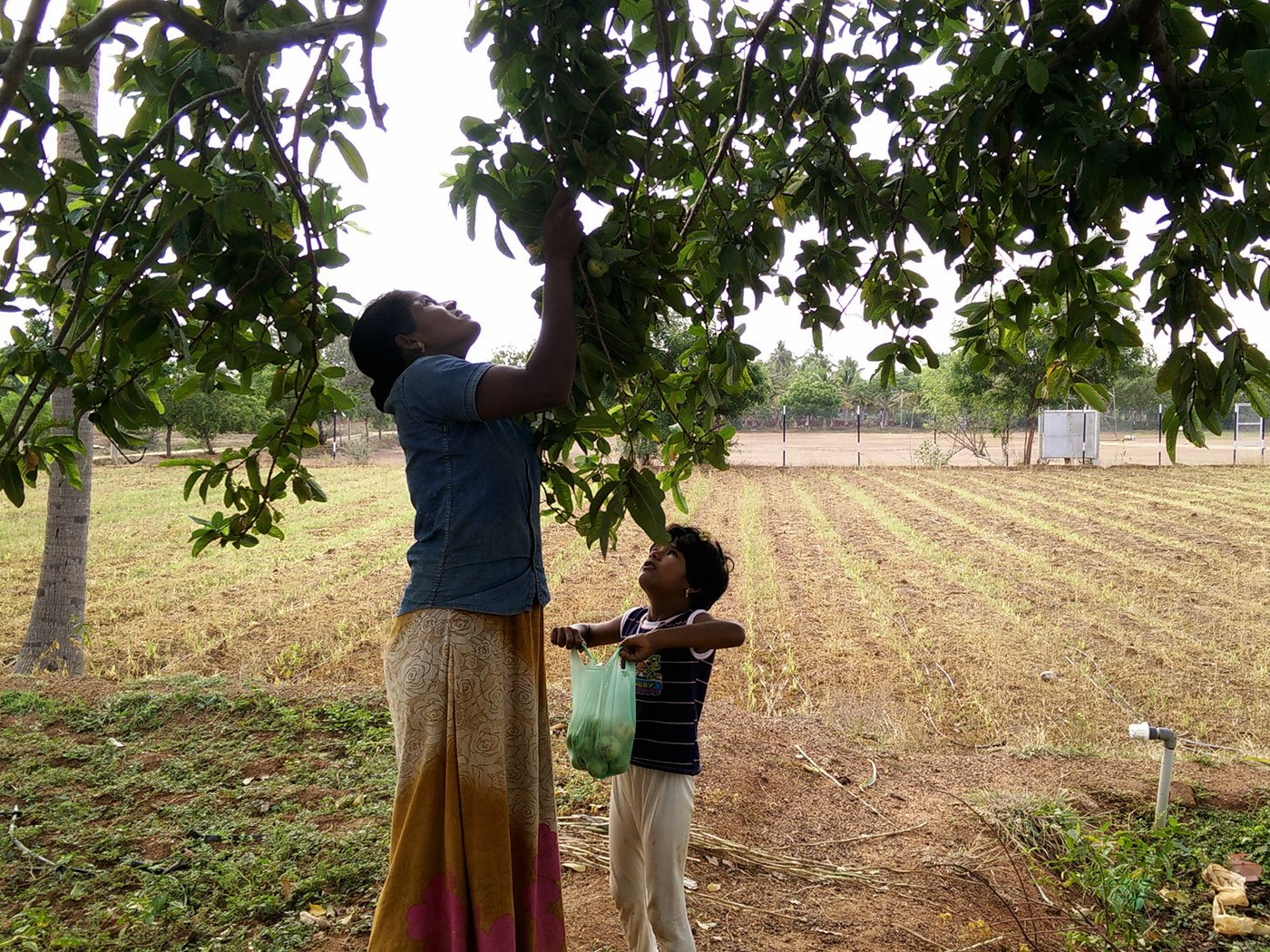 Chandra plucking guavas with Iniya