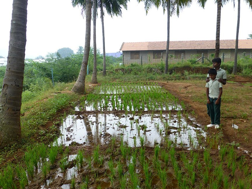 Two student guides show us micro plots of land on which they are cultivating different varieties of paddy