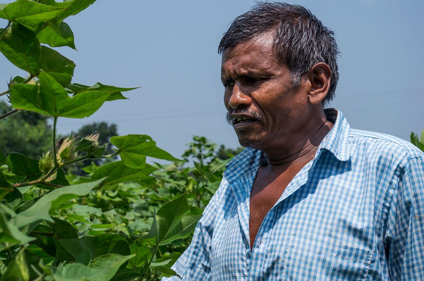 A four-acre farmer from Manoli village, Vilas Rathod, in Yavatmal's Ghatanji tehsil inspects his cotton crop; Rathod stopped spraying after he fell sick, but did not need hospitalization