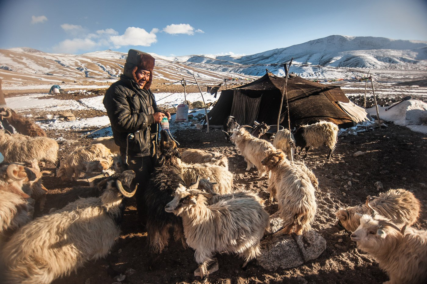 Karma Rinchen (a Changpa) is herding the pashmina goat. 'Changpa' is a tribe found in the high altitudes of Ladakh