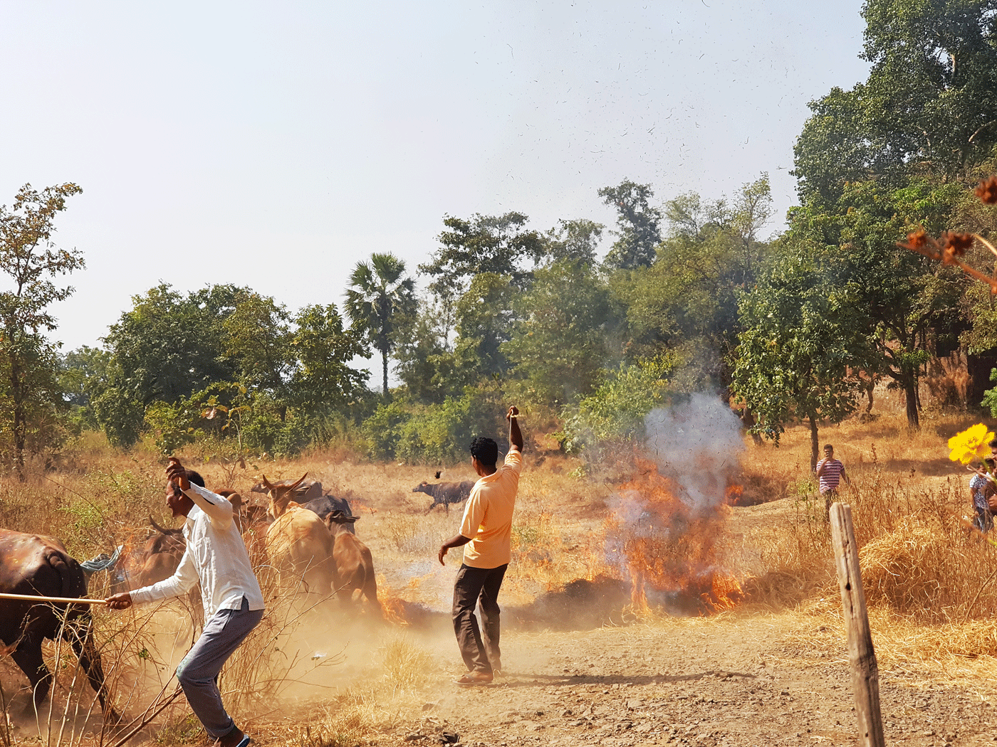 During Diwali, the Warlis perform a fire ritual where all livestock in the hamlet are rapidly led to step through a paddy-straw fire lit by the community