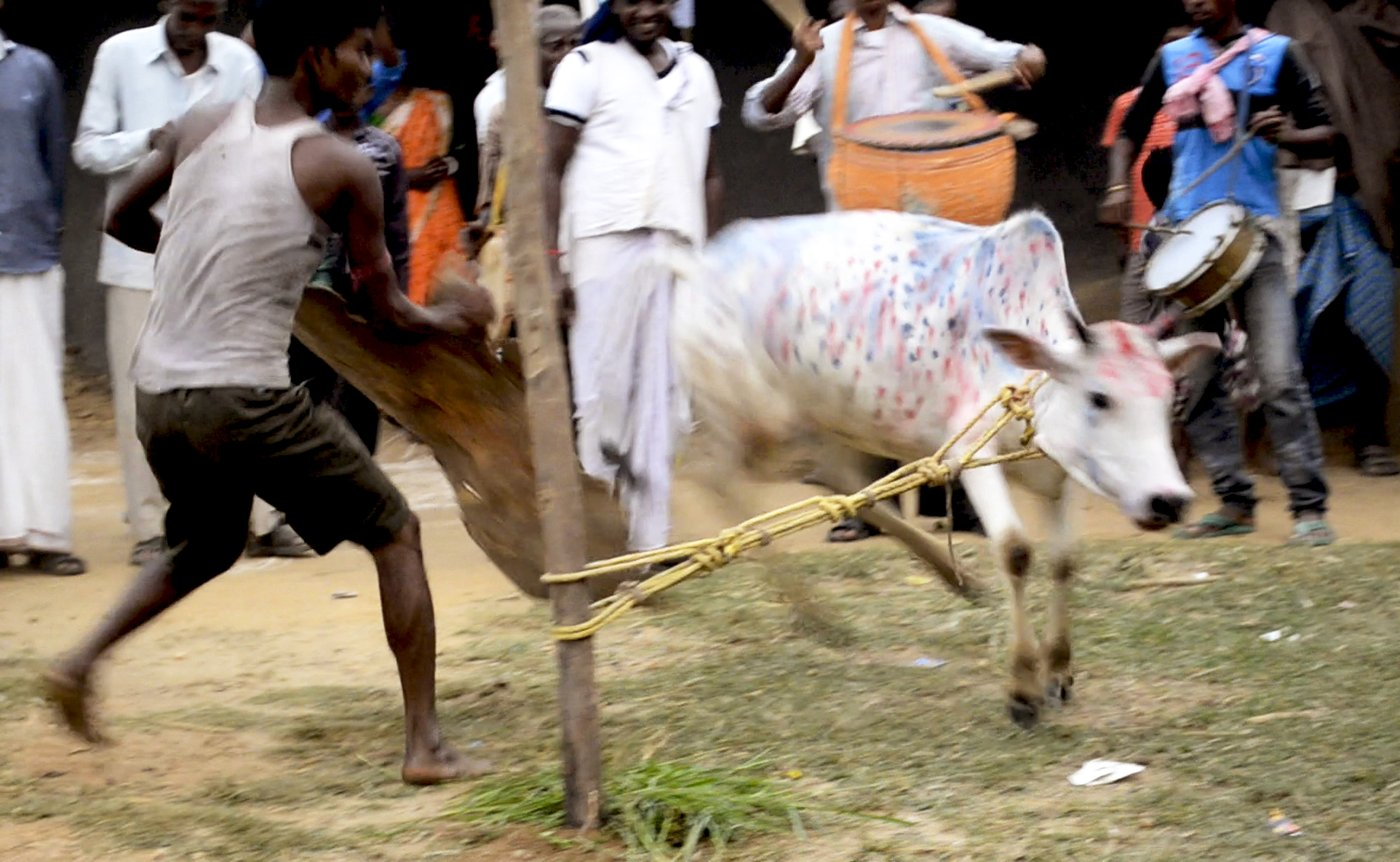 Man trying to tame cow during the annual go-bnadna' festival