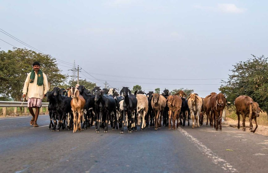 Left: Walking on major roads (here, the Bagalkot-Belgaum road) is not easy, and the animals often get sick or injured. Right: 'Off road' migration has its own difficulties due to the rugged terrain. And the pastoralists have to avoid any patches of agricultural land if they don't have a grazing and manure agreement with that farmer
