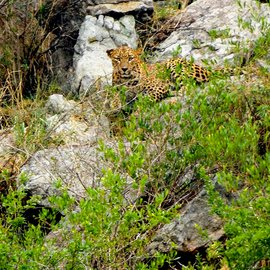 When Jayamma spotted the leopard