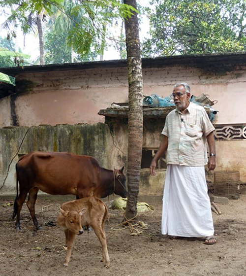 Chandran Master with the tiny Vechur calf, the latest addition to his diverse herd. He has animals of 11 different indigenous breeds in his compound