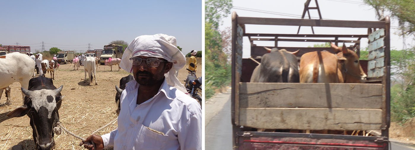 Appasaheb Kothule at the cattle market, Cows being transported in a small truck