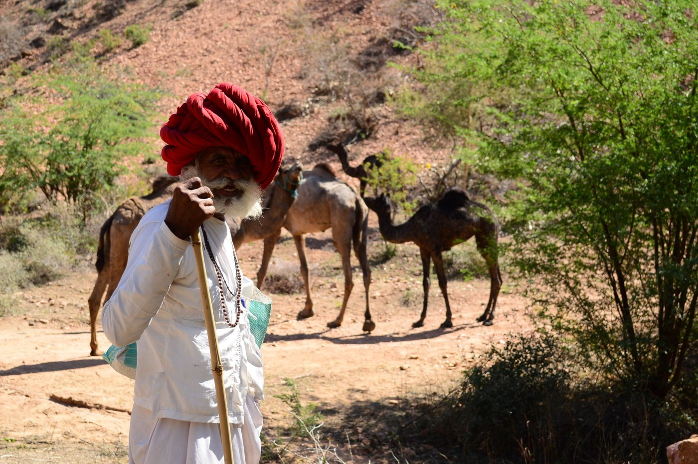 Fuyaramji stands guard while his camels are busy eating