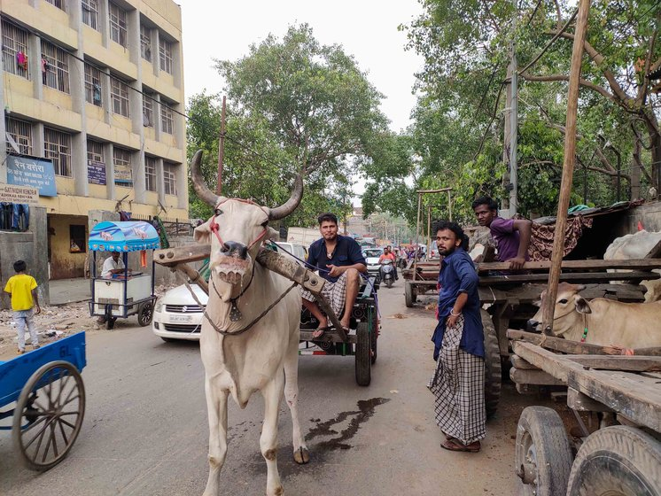 'We know the price we pay for living with tradition. But we love our oxen. They are our family', says Vijay Kumar Singh, siting on the cart (left); he   never went to school, but wants his son Rajesh (right) to get a good education