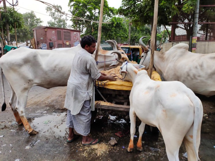 The oxen are given a feed of chaff of wheat or rice, and straw of Bengal gram every morning, afternoon and evening. In summer, to help the animals cope with the high temperature and recover energy, jaggery, milk, butter and amla murabba (preserve) are added to the feed