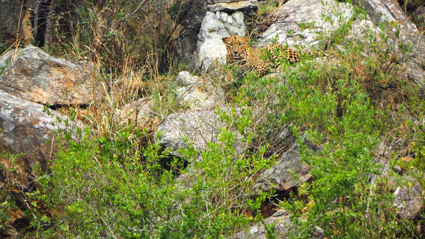 Leopard sitting in Bandipur forest. Jenu Kuruba Adivasi from Ananjihundi documents life in a forest