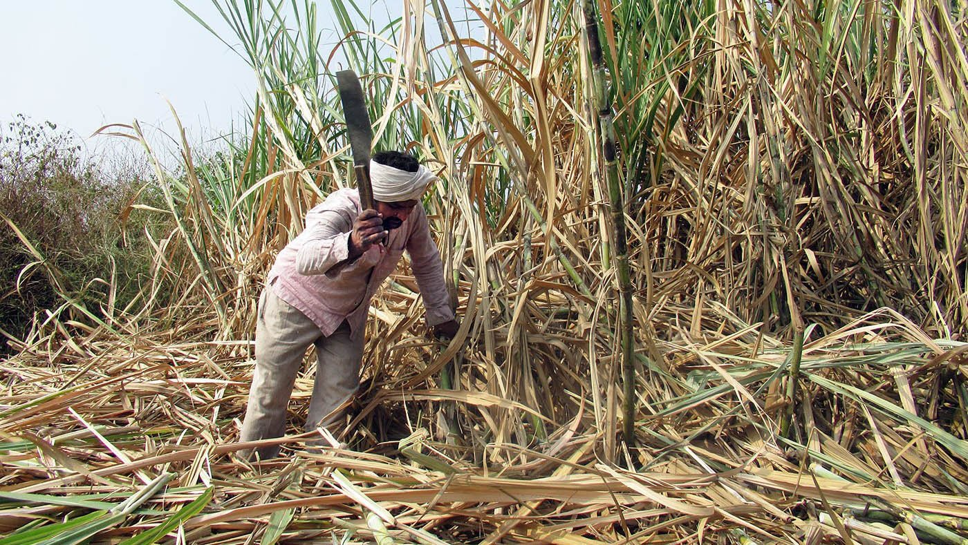 Man cutting sugarcane