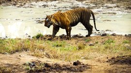 Close encounters with the Prince of Bandipur