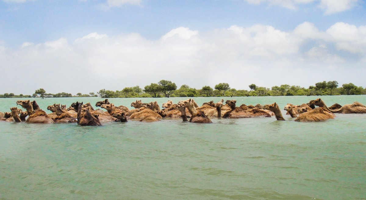 An image of Kharai camels swimming