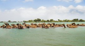 The swimming camels of Kachchh