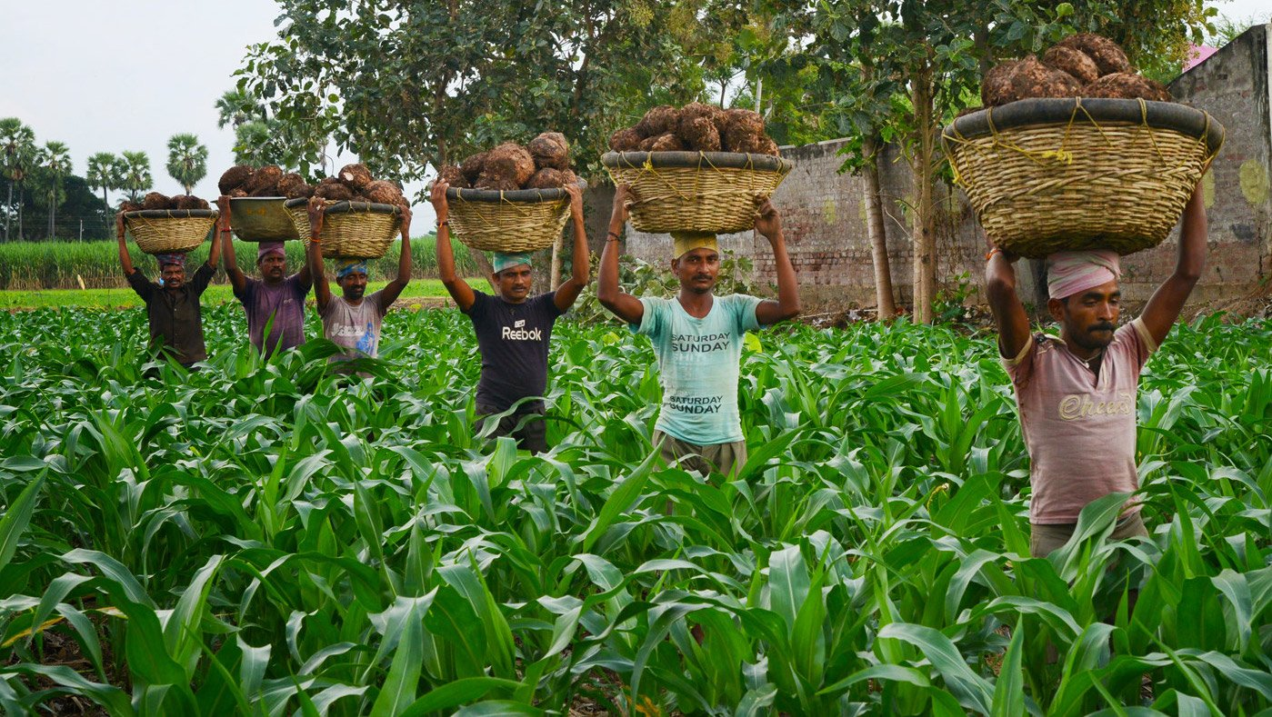 Men carrying Yams to be exported to Mumbai