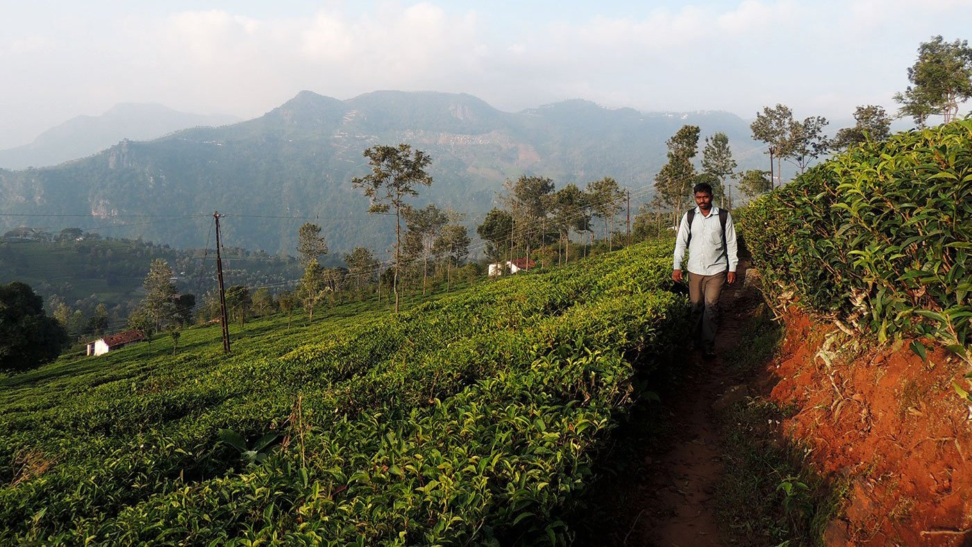 A man standing in tea garden