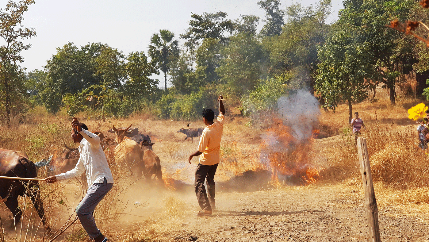 people walking cattle on fire