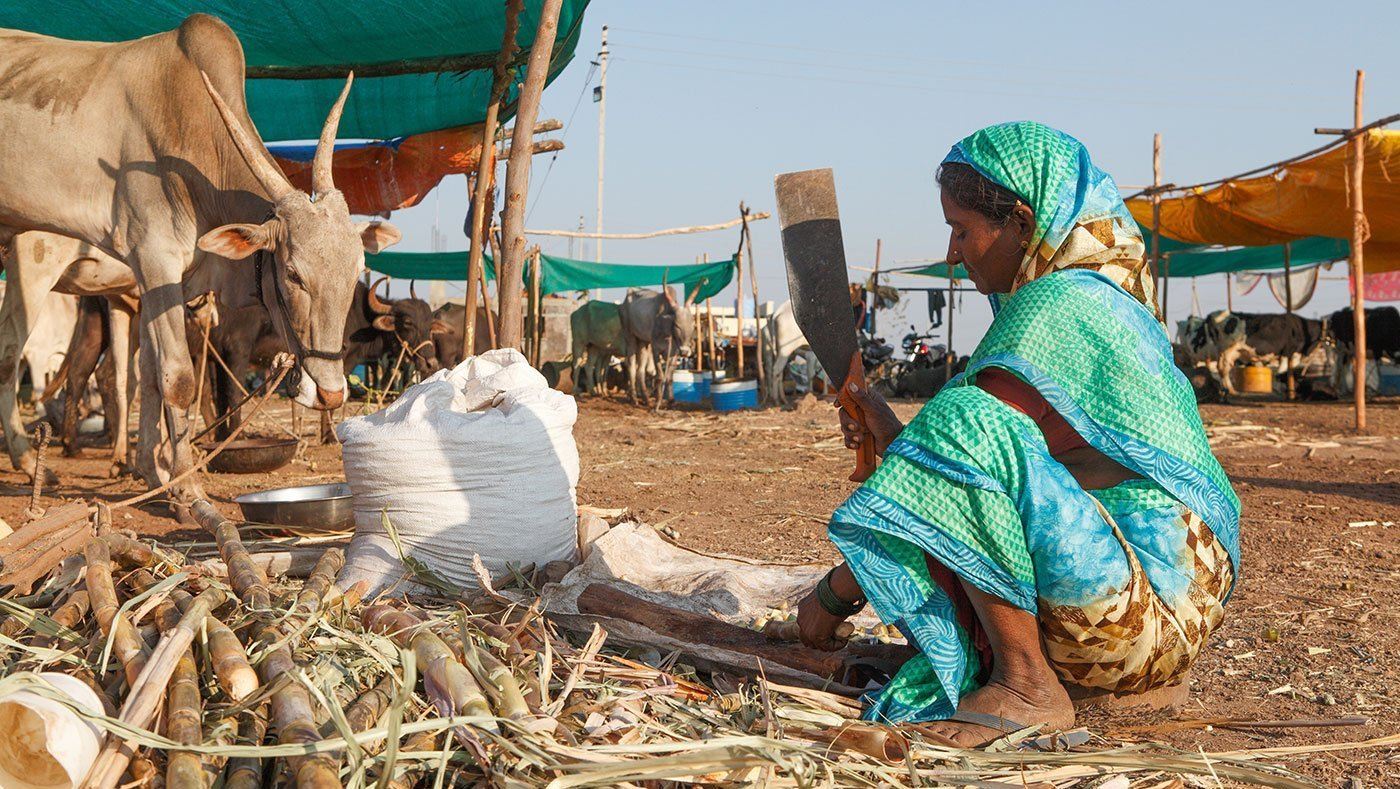 Woman cutting sugarcane for fodder