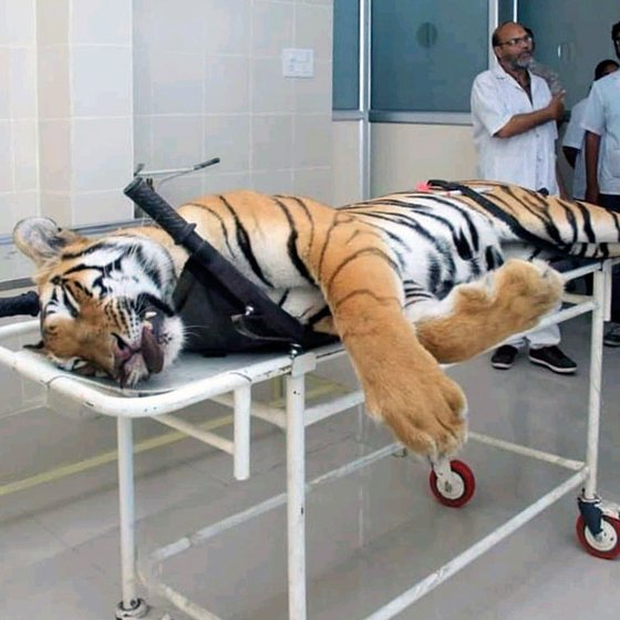 T1's corpse was sent to Gorewada zoo in Nagpur  for a postmortem