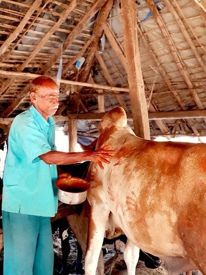 On Balipratipada, our cattle are decorated and offered prayers. 'This is an Adivasi tradition', says 70-year-old Ashok Kaka Garel