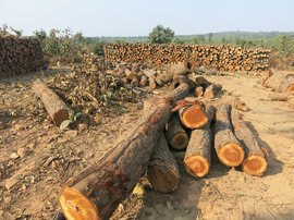'We believe 15,000 trees have already been cut'