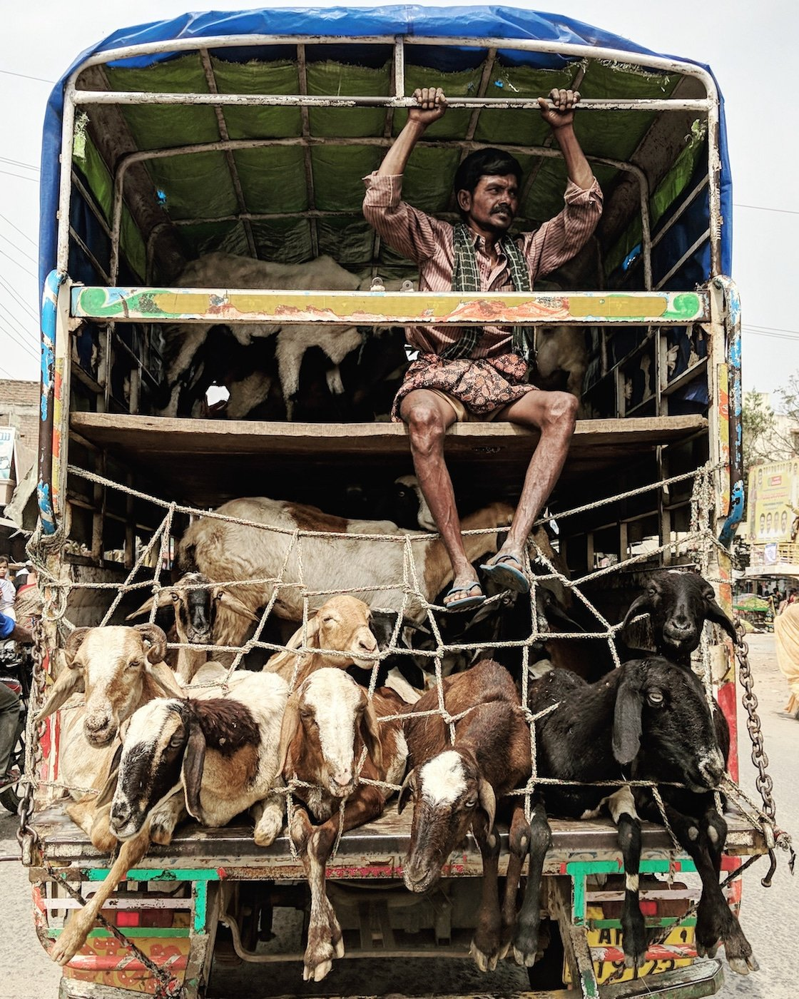 Man taking goats to the market in a truck