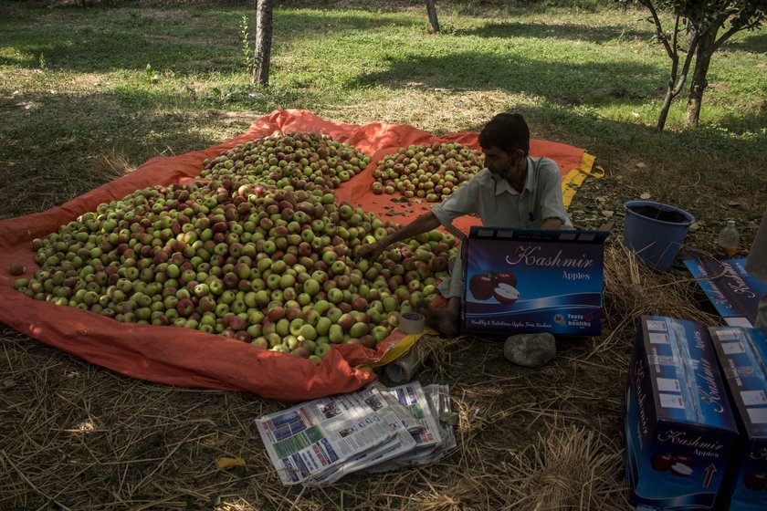 The apple business runs on informal oral agreements. In March-April, traders visit orchards to assess the flowering, and pay the orchard owner an advance based on their estimate of the produce. When the fruit is ready to be harvested, the traders return. In the current turmoil, this entire business is at risk