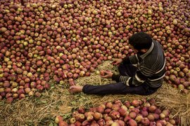 No fruit of this labour: Kashmir's apple trade
