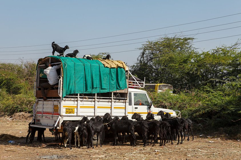 Trucks, Goats all around