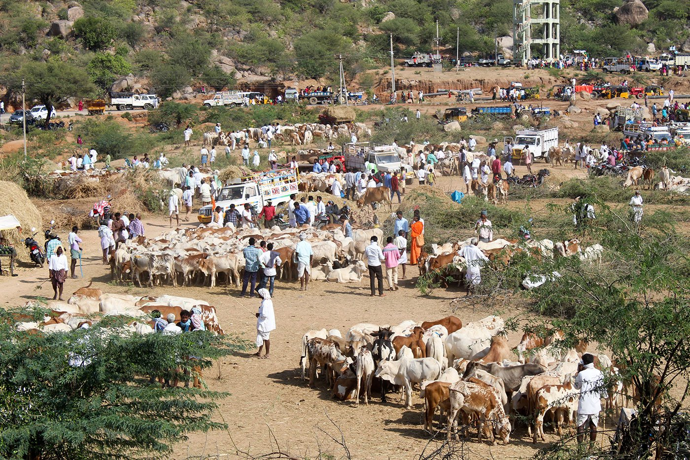 Herd of cattle, up for sale