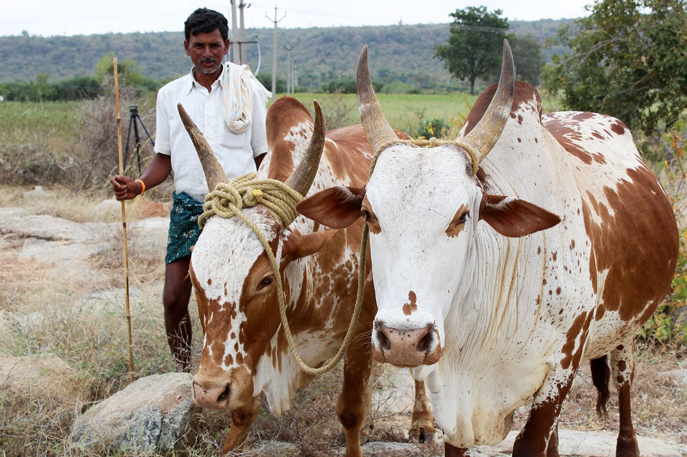 Man with his cattle