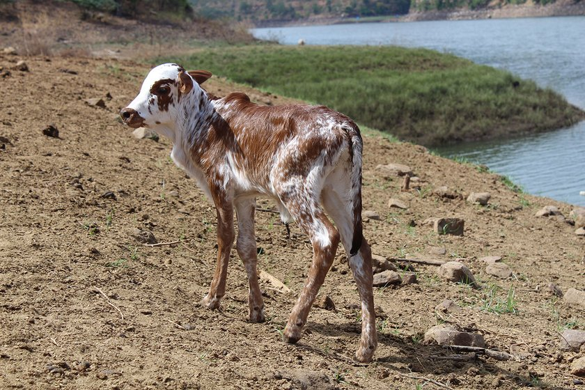 A calf by the river