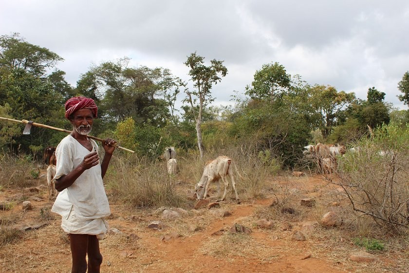 Man watching over his cattle