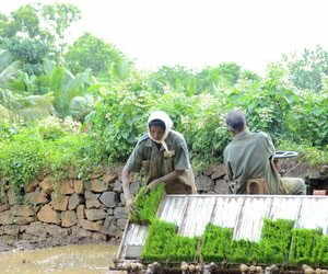 Man steering transplanter while woman feeds paddy mats into it