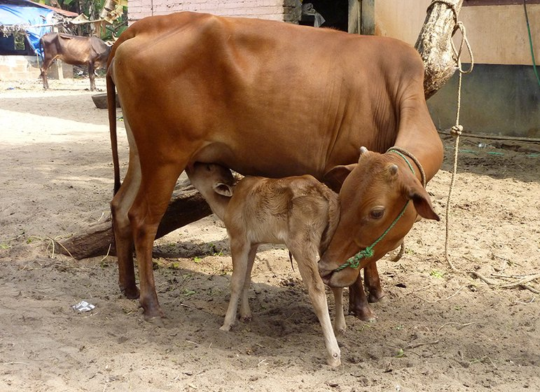 Mother and child: the mother is a Vechur cow, the world's smallest cattle breed – she is 82 centimetres tall. The calf is just hours old