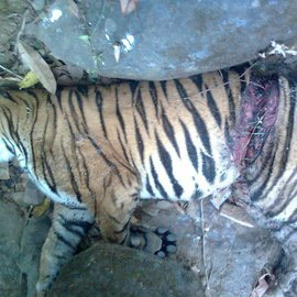 uploads/Articles/Shalini Singh/Goa Tiger Count/tiger_killed_at_keri_-_sattari.jpg