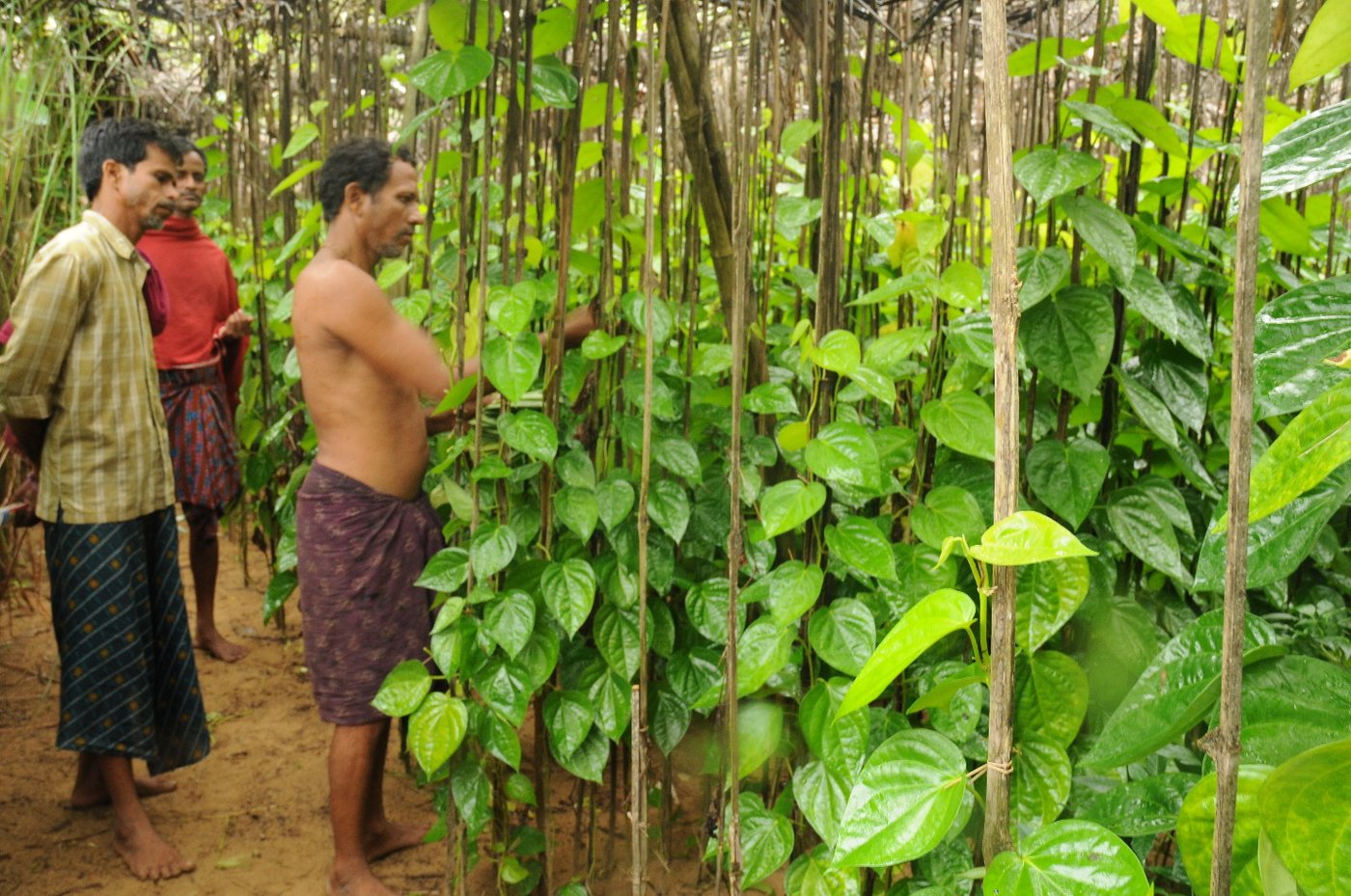 Farmer standing in front of betel leaf vineyard