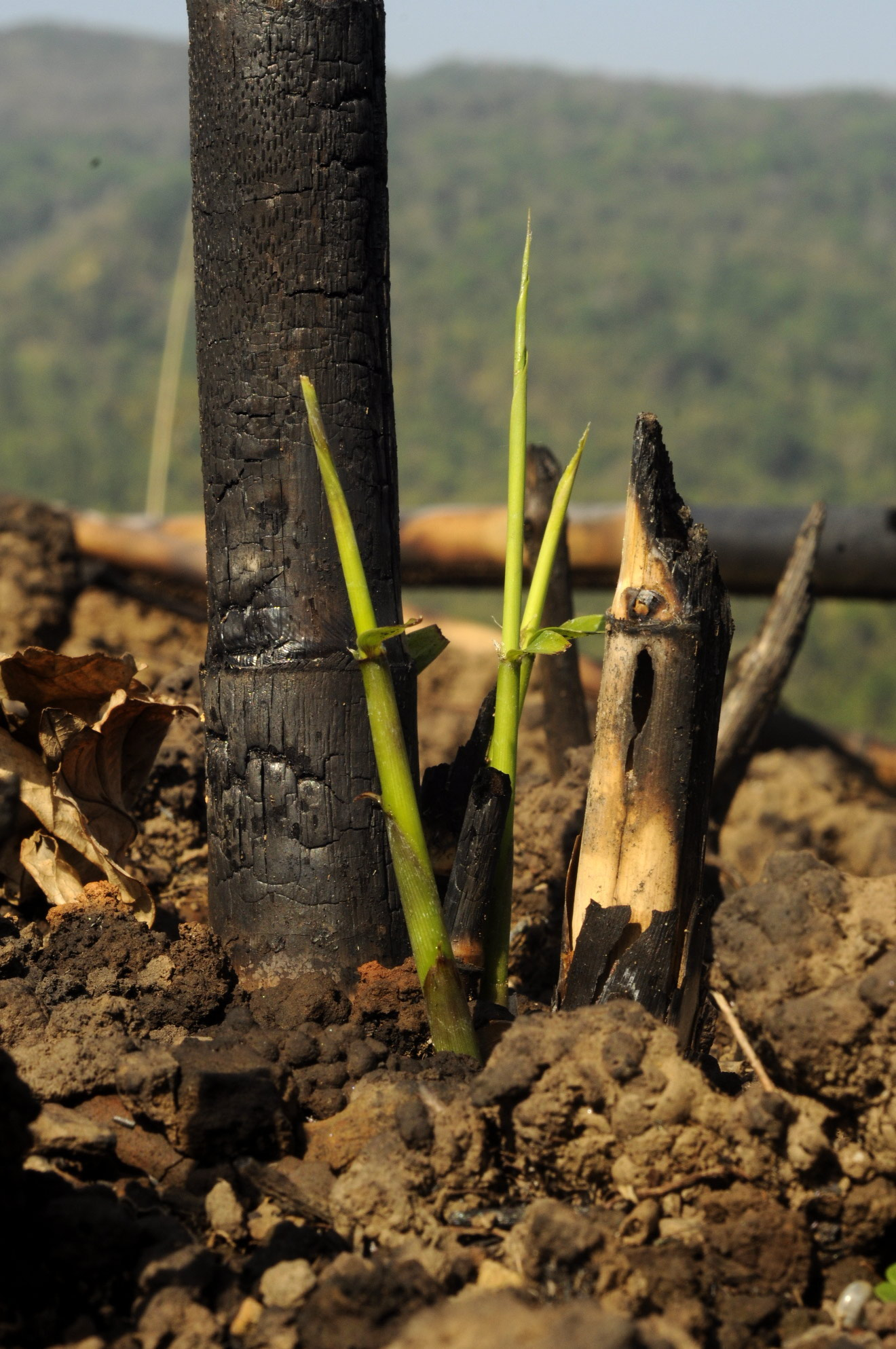 Crop cycles: Fire and renewal in Mizoram